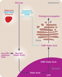 Click on the image to enlarge: Ace-ER is designed to replace sialic acid, which is deficient in patients with this disease. It is expected that the muscles will pick up increased amounts of sialic acid from the serum and incorporate it into proteins and fats, potentially improving muscle strength and function over time.