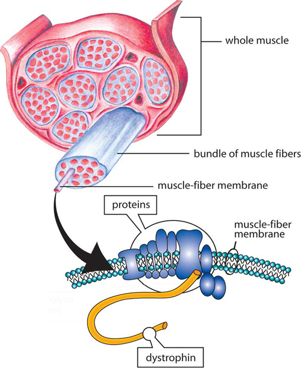 Muscles are made up of bundles of fibers (cells). A group of interdependent proteins along the membrane surrounding each fiber helps to keep muscle cells working properly. When one of these proteins, dystrophin, is absent, the result is Duchenne muscular dystrophy; poor or inadequate dystrophin results in Becker muscular dystrophy.