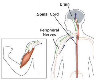 The peripheral nerves carry motor signals from the spinal cord to the body's muscles. Muscle contraction creates sensations that are sent through the peripheral nerves to the spinal cord.