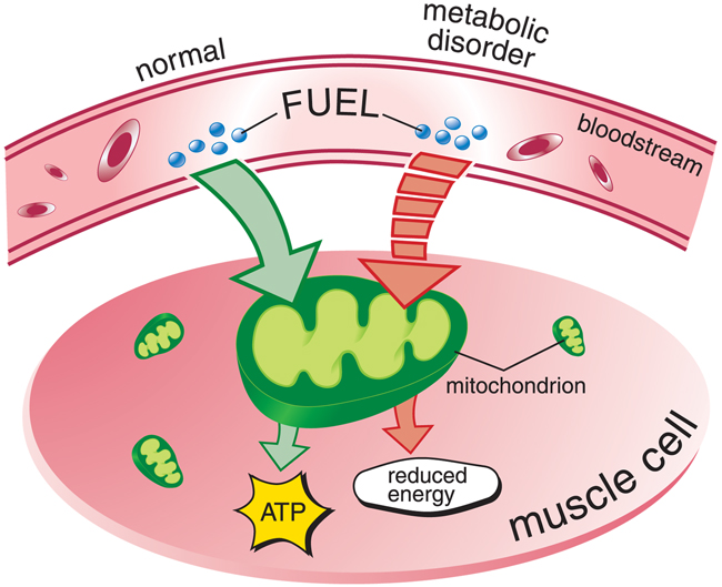energy, metabolism, and cells essay Atp is the form of energy that all cells require to perform the functions necessary to life during aerobic respiration, nutrients (sugars) are converted into the form of chemical energy cells can use and store (krebs cycle) this process of respiration produces carbon dioxide, water, and atp as byproducts.