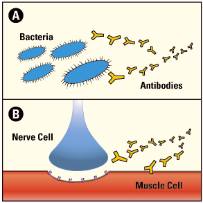Normally (A), the immune system releases antibodies to attack foreign invaders, such as bacteria. In autoimmune diseases (B), the antibodies mistakenly attack a person's own tissues. In LEMS, they attack and damage muscle cells.
