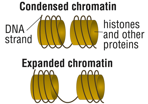 Chromatin structure affects gene activation. Closed, or condensed, chromatin restricts access to the gene, while open, or relaxed, chromatin allows the cell's machinery to access the genes and make protein.