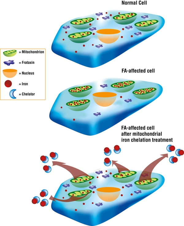 "In FA, a deficiency of the frataxin protein changes the way the body regulates iron levels, leading to toxic levels of iron in the cellular ""energy factors"" called mitochondria. Chelators designed to penetrate the mitochondria target the iron accumulation and remove it."