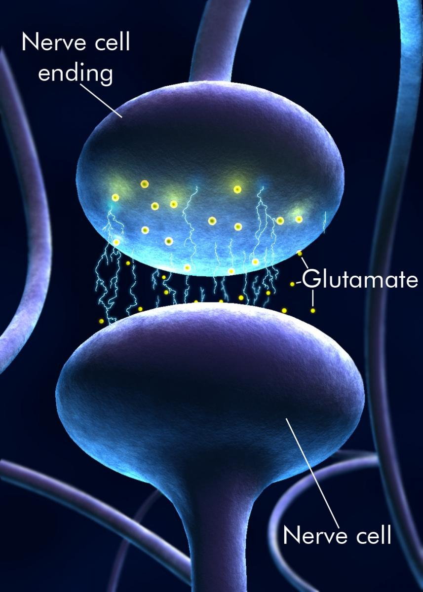 glutamate functioning between neurons