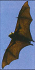 The consumption of fruit bats on Guam may have contributed to the relatively high rate of ALS on the island.