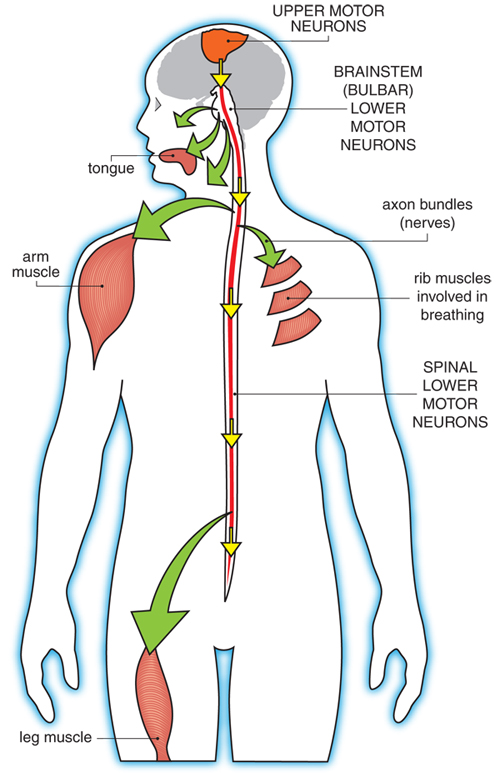 Motor neurons in the body