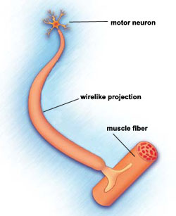 Muscle-controlling nerve cells (motor neurons) are located mostly in the spinal cord. Long, wirelike projections connect the motor neurons to muscles in the limbs and trunk. Normally, signals from the neurons to the muscles cause muscles to contract. In SMA, motor neurons are lost, and muscles can't function.