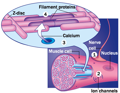 muscle cell contracting