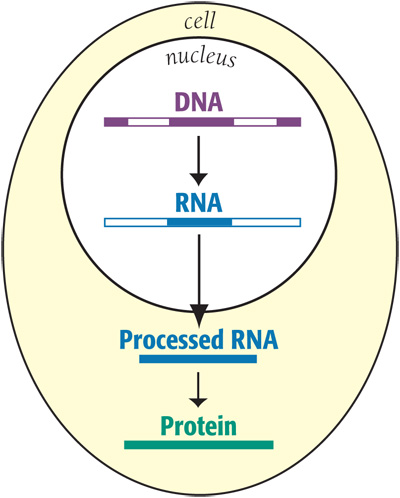 how DNA turns into protein