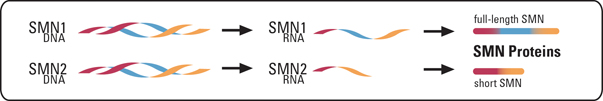 Illustration of SMN1 and SMN2 in SMA