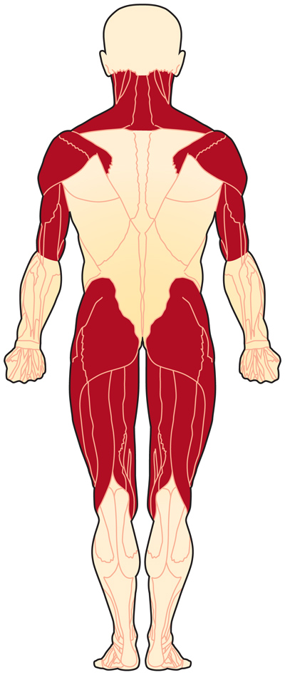 Muscles affected by polymyositis (back view)