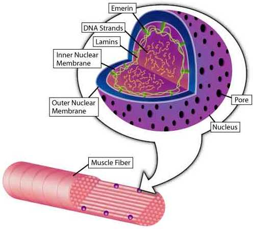 The Cell Necleus: Lamins A and C, normally located just inside the inner nuclear membrane, and emerin, normally located between the inner nuclear membrane and the lamins, may serve as mechanical supports and/or may interact with the gene-containing DNA strands inside the nucleus. Muscle fibers contain many nuclei, each of which is surrounded by an envelope with pores that allow material to move in and out of the nucleus.