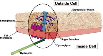 In the 1990s, scientists learned that clusters of sarcoglycan and dystroglycan protein molecules poked through the muscle cell membrane, with dystrophin, just inside the cell, attached.