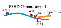 A D4Z4 region that's too short may keep the repressors from landing on the chromosome, allowing nearby genes to be activated.