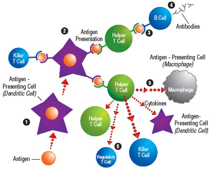 The Immune Response: An immune response starts when an antigen-presenting cell, such as a macrophage or dendritic cell, sees an antigen and then engulfs and digests it (1). Antigen-presenting cells then display pieces of the antigen to killer T cells or helper T cells of the immune system (2). Helper T cells can either show the antigen to B cells (3), which then produce antibodies (4); or they can secrete cytokines, which stimulate macrophages, dendritic cells and other T cells (5). After the immune system has done its work, helper T cells can secrete cytokines that kill other helper and killer T cells but increase the number of regulatory T cells (6).
