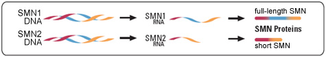 Genetic information moves from its storage form as DNA to a set of instructions known as RNA, from which protein molecules are made. Most of the RNA instructions from the SMN1 gene tell the cell to make full-length SMN protein. Most of the instructions from the SMN2 gene tell the cell to make short SMN protein.