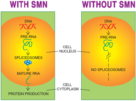 "One function of SMN that's widely acknowledged is its role in forming spliceosomes, molecular workbenches where rough-draft RNA is spliced into the final, or ""messenger,"" RNA, from which protein molecules are made. Synthesis of several proteins is probably adversely affected by SMN deficiency."