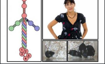 Madeleine Durbeej-Hjalt (CMD): The composite image shows: a schematic picture of laminin, the protein that is missing in type 1 congenital muscular dystrophy; Durbeej-Hjalt; and laminin alpha 2 deficient mice treated with a proteasome inhibitor called MG-132 (right) and an untreated mouse (left).